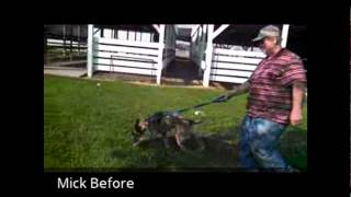 Talented K9 - Mick The Australian Cattle Dog Mix - Major Puller Learns To Walk Nicely On Leash