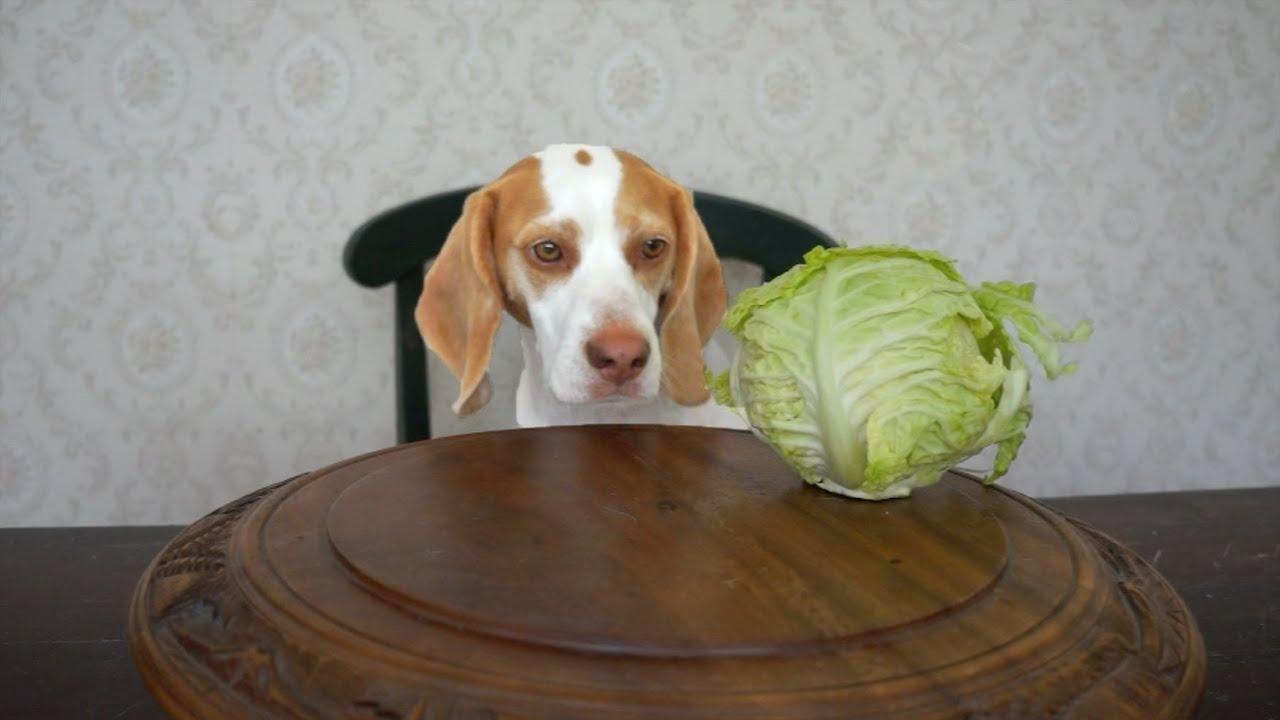 тюльпанового гифка собака жрет капусту трудная часть работы