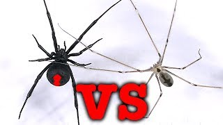 Redback spider vs daddy long-legs spider mythbusting bug battle