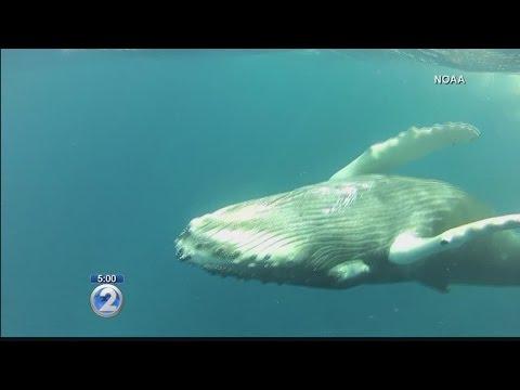 Hawaiian humpback whales among nine moving off endangered species list