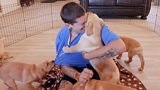 Attack of the Labrador Puppies!!