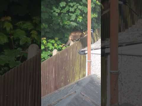 Two Magpies Attack Cat