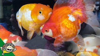 Dead Discus! Goldfish and Murphy Camera #Daily Dose 30