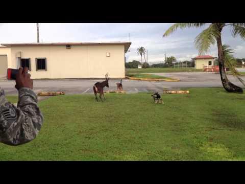 Dogs Attack Deer