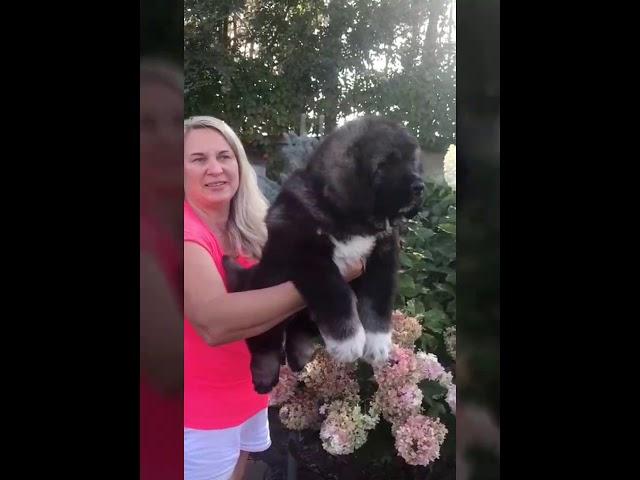 Male Caucasian Shepherd #3 for sale (litter #2) video2