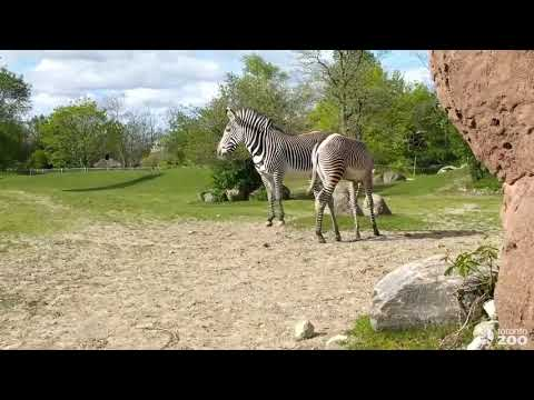 Grevy's Zebra Obi Braves His Outdoor Habitat-Toronto Zoo