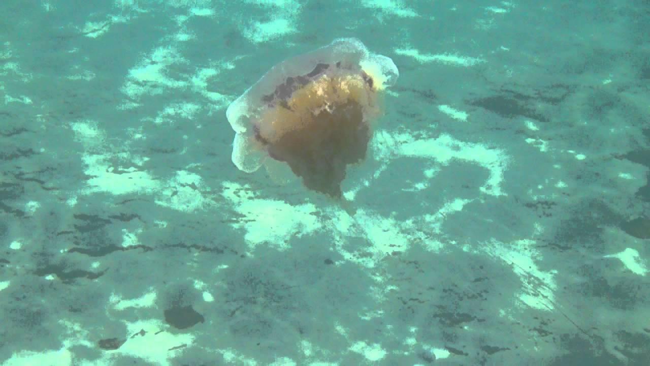 ядовитая медуза фото