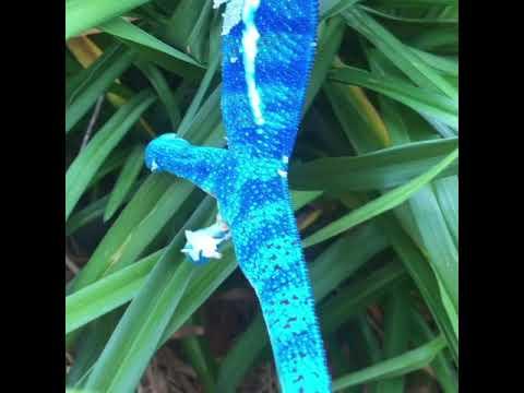 Neptune Ambanja Panther Chameleon