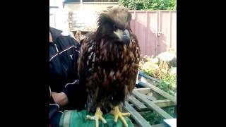 Орел или гриф прилетел сам раненный, через месяц как выздоровел  - улетел в неизвестном направлении