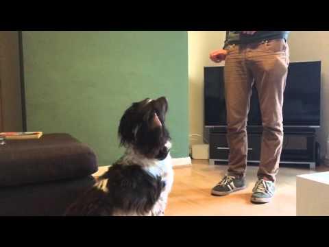 Springer spaniel tricks