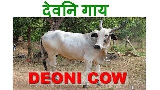 Dairy Farming: Deoni Cow - A Profitable Desi Breed - देवनि गाय का महत्व