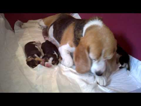 "Beagle puppy - miot / litter ""I"" 4 dni / 4 days old"