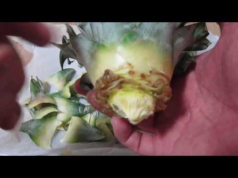 파인 애플 키우기 뿌리 내리는 방법 설명만.