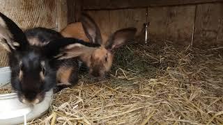 (52) odc stan hodowli: kozy ,króliki itp