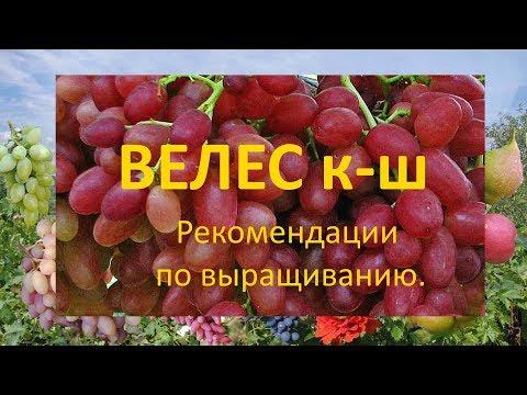 Виноград 2019  Виноград Велес  Рекомендации по выращиванию