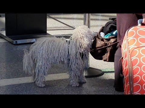 Hungarian Puli. Rasta dog at lax