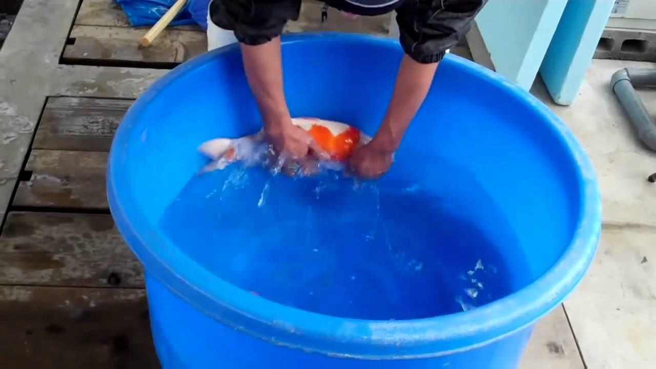 Koi fish in aquarium care - Essential Elements For Proper Koi Fish Care