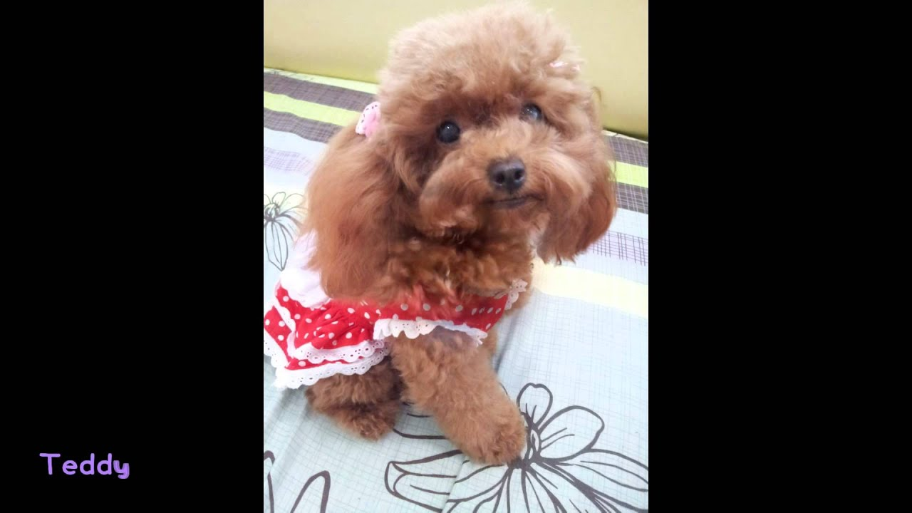 You Long Teacup Toy Poodle In Singapore Pocket Poodle Teacup Poodle Toy Poodle