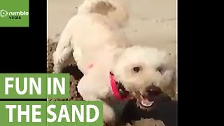 Dog humorously digs hole in the sand