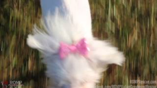 Cher - Maltese Rescue Available For Adoption Through Romp Italian Greyhound Rescue