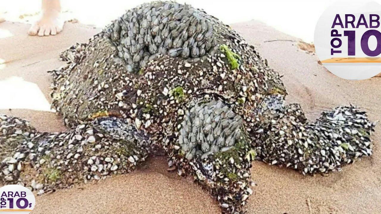 سلحفاة ظلت عالقة فيها فواكه البحر لمدة 19 عامًا لن تتوقع ما حدث لها