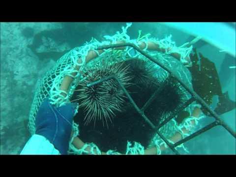 Red Sea Urchin Harvest