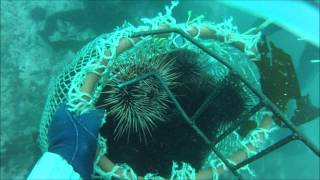 Red Sea Urchin Harvest