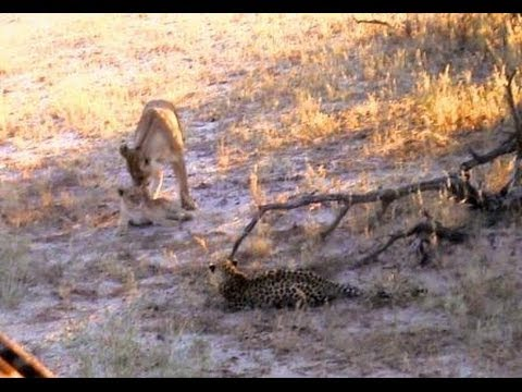 Lioness & cub pay last respects to dying leopard