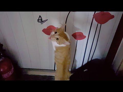 여아 고양이가 발정이 오면 어떤 증상들을 보