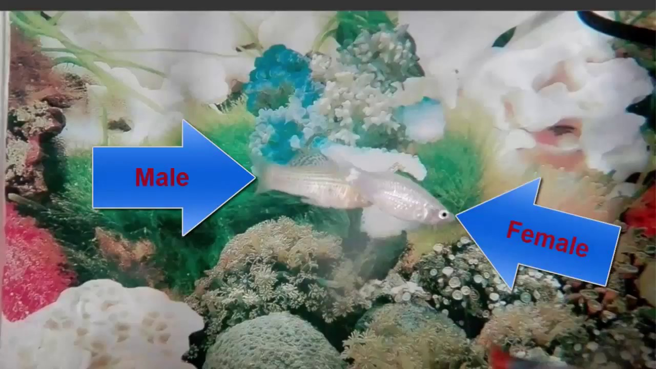 How To Tell The Difference Between Male And Female Molly -6622