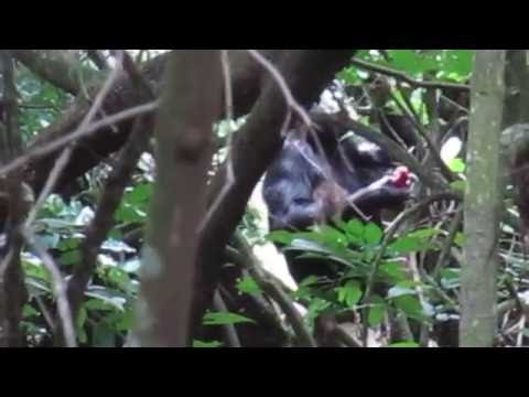 Chimpanzee Habituation Project - Rubondo Island Camp