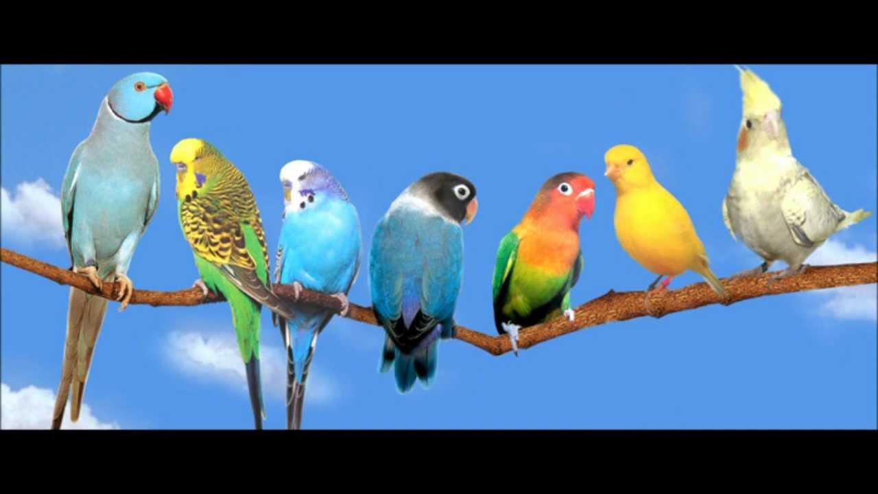 Youtube dessay les oiseaux