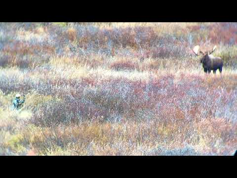 Alaska Yukon Moose Bow-hunt (Close Encounter)