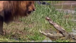 Приколы про животных, крокодилы против льва, смотреть хищные приколы про хищников Ужас