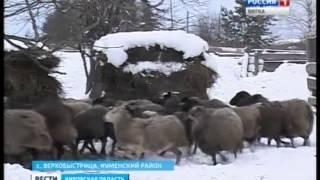 Профилактика бруцеллеза овец (ГТРК Вятка)