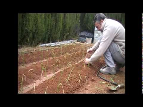 Como cultivar cebollas en huerto casero YouTube