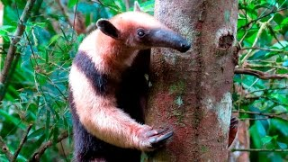 Четырёхпалый муравьед (Tamandua) придирчивый едок(Четырёхпалый муравьед (Tamandua) придирчивый едок. Четырёхпалый муравьед, или тамандуа (лат. Tamandua tetradactyla) —..., 2016-05-11T08:02:54.000Z)