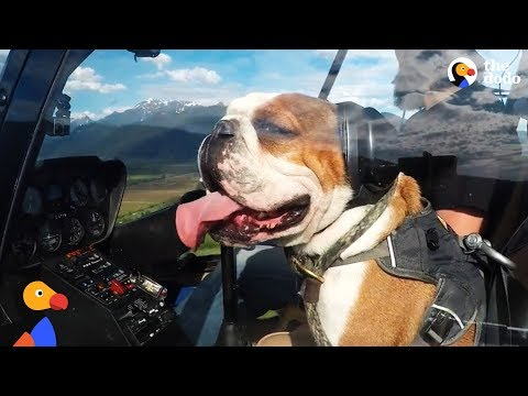 Bulldog Scared of Everything LOVES Helicopter Rides | The Dodo