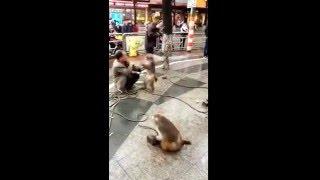 Người đàn ông huấn luyện ngay phải lũ khỉ biết troll :v