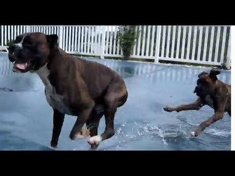 Boxers on Pool Cover Playing! ( Brock the Boxer Dog )