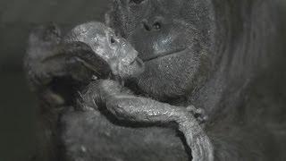 World first - Orangutan birth captured live on camera at Durrell