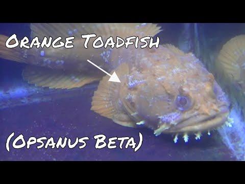 Orange Toadfish (Opsanus Beta)
