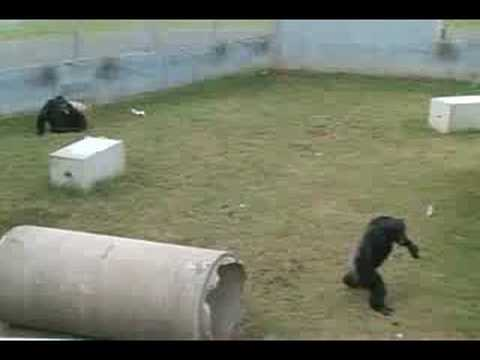 "Chimpanzees feeling the Beat  of the Drum "" LIVE """
