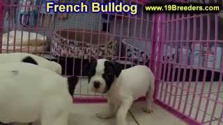 French Bulldog, Puppies, For, Sale, In, Lexington, County, Kentucky, Ky, Bowling Green, Owensboro, C