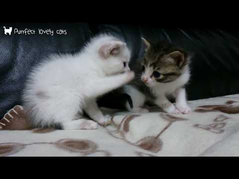 4 weeks old kittens playing together