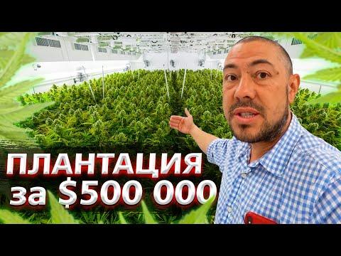 Выращивание конопли в цифрах / Плантация марихуаны в Калифорнии