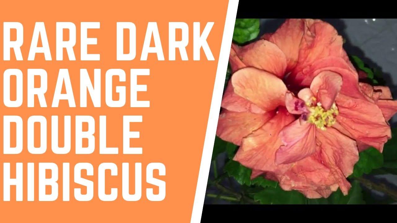 Orange double hibiscus orange gudhal jaswantijasud jaswantroas orange double hibiscus orange gudhal jaswantijasud jaswantroas sinesisorange hibiscus flower izmirmasajfo Image collections