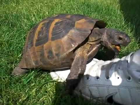 Turtle tortoise a funny turtle and cute turtle videos compilation new hd youtube - Cute turtle pics ...