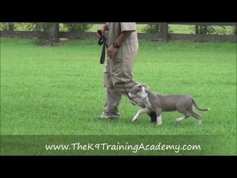 Max a Pit Bull with Basic Obedience - The K9 Training Academy