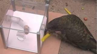 Кто умнее попугаи или ворон